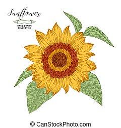 gravure, illustration, dessiné, vecteur, isolé, style, botanical., main, blanc, tournesol, vendange, arrière-plan., automne, flower.