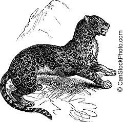gravure, jaguar, panthera, vendange, onca, ou