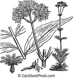 gravure, jardin, vendange, valériane, officinalis, valeriana, ou