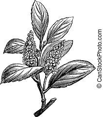 gravure, laurocerasus, prunus, kers, ouderwetse , laurier, ...