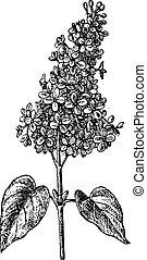 gravure, lilas, vendange, sp., syringa, ou