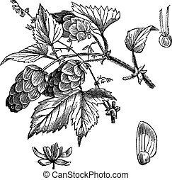 gravure, lupulus humulus, vendange, commun, houblon, ou