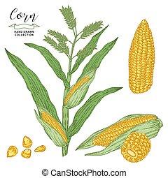 gravure, maïs, dessiné, vecteur, isolé, céréale, blanc, maïs, illustration., arrière-plan., main, collection., style., plante