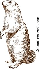 gravure, marmotte, dessin, illustration