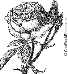 gravure, mos roos, grandiflora, portulaca, ouderwetse , of