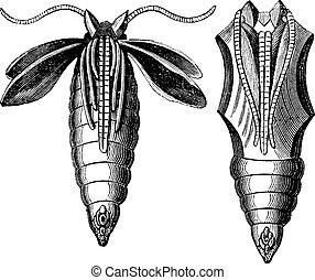 gravure, moth, chrysalide, vendange