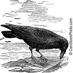 gravure, nord, vendange, corvus, commun, ou, corax, corbeau
