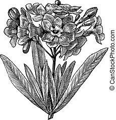 gravure, oleander, ouderwetse , algemeen, (nerium, oleander)
