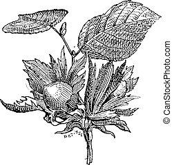 gravure, ouderwetse , hazelaar, corylus, sp., of