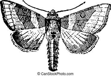 gravure, ouderwetse , moth