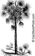gravure, ouderwetse , sabal, palmetto, palm, kool, of