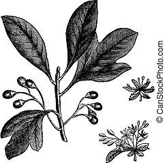 gravure, ouderwetse , sassafras, of, albidum