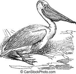 gravure, pelikan, groot, pelecanus onocrotalus, oostelijk,...