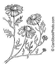 gravure, plante, monde médical, style, vecteur, officinalis
