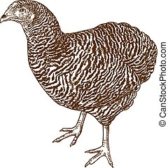 gravure, plymouth, poulet, illustration, rocher