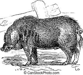 gravure, porc, bucculentus, vendange, mangalitza, mangalica, mangalitsa, bouclé-cheveux, sus, ou