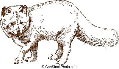 gravure, renard arctique, dessin, illustration