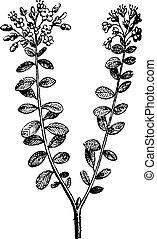 gravure, rhododendron, vendange, tomentosum, sauvage, romarin, ou