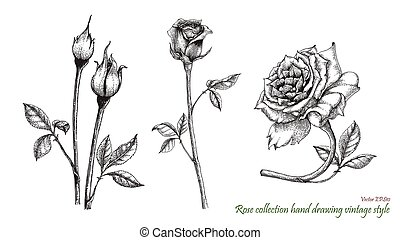 gravure, roos, stijl, tekening, hand