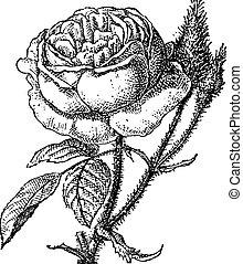 gravure, rose mousse, grandiflora, portulaca, vendange, ou