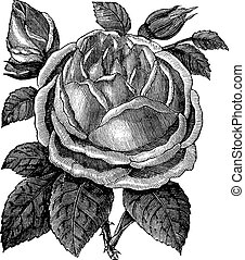 gravure, rose, noisette, rosa, noisettiana, vendange, ou