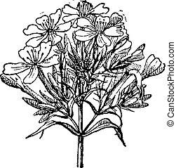 gravure, saponaria, vendange, commun, officinalis, ou, soapwort
