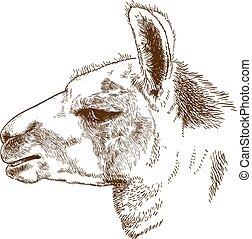 gravure, tête, lama, illustration