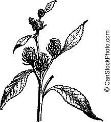 gravure, tumbleweed, kali, sp., vendange, ou