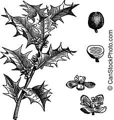gravure, vendange, aquifolium, houx, ilex, ou