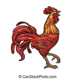 gravure, vendange, illustration, vecteur, rouge noir, ardent, rooster.