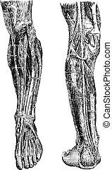 gravure, vendange, jambe, humain