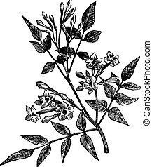 gravure, vendange, jasmin, jasminum, commun, officinale, ou