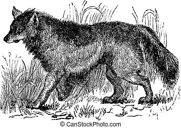 gravure, vendange, latrans, canis, coyote, ou