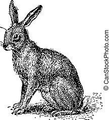 gravure, vendange, lièvre,  Lepus,  Sp, ou