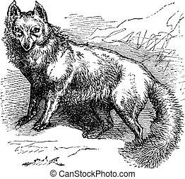 gravure, vendange, renard arctique, lagopus, vulpes, ou