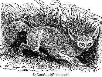 gravure, vendange, renard, otocyon megalotis, bat-eared, ou