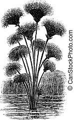 gravure, zegge, ouderwetse , papyrus, cyperus, of