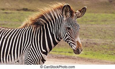 Gravyi zebra foal