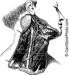 gravyr, årgång, lateral, djup, mänsklig, region, hals