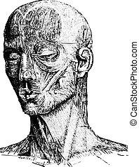 gravyr, ansikte, musker, mänsklig, årgång