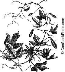 gravyr, blomma, årgång, eller, passion, passiflora, caerulea