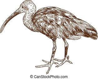 gravyr, scharlakansröd, teckning, illustration, ibis