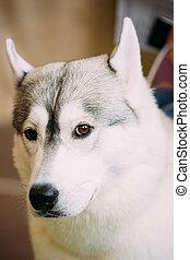 Gray Adult Siberian Husky Dog Close Up Portrait