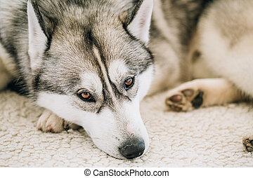 Gray Adult Siberian Husky Dog