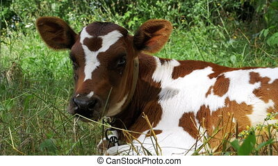 Gray and White Calf Cow Lying on Meadow and Chews Grass. Cow...