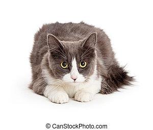 Gray and White Cat Yellow Eyes