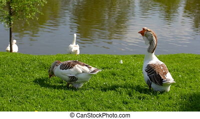 Gray and white  geese  on a green l