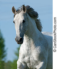 Gray andalusian stallion portrait in movement