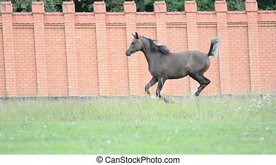 gray arabian stallion running