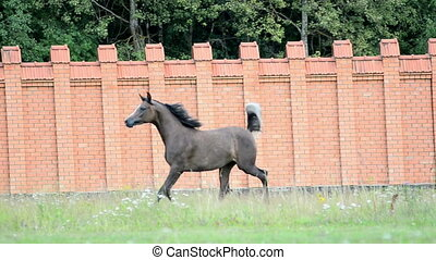 gray arabian stallion galloping